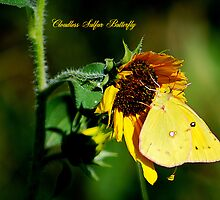 Cloudless Sulphur Butterfly on a Sunflower by Catherine Sherman