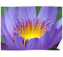 Water Lily Macro Poster