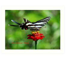 Zebra Swallowtail on a Red Zinnia Art Print