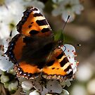 Small Tortoiseshell Butterfly by Neil Bygrave (NATURELENS)
