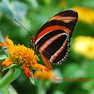 Orange Banded Longwing Butterfly by Catherine Sherman