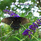 Black Swallowtail Butterfly on a Butterfly Bush by Catherine Sherman