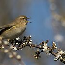 Chiffchaff by Neil Bygrave (NATURELENS)