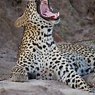 Teeth of the leopard by Yves Roumazeilles