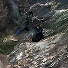 Nesting Shags by Neil Bygrave (NATURELENS)
