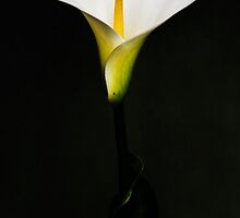 White Calla Lily by Lissywitch