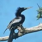 Anhinga Out on a Limb by WTBird
