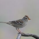 Juvenile White-crowned Sparrow by tomryan