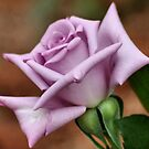 The 'BLUE MOON' a rose with exceptional beauty and elegance ! by Magriet Meintjes