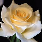 'IVORY BEAUTY' a beautiful rose by Magriet Meintjes