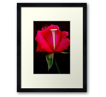 'PAINTER'S PALETTE'- A capture in my own rose-garden Framed Print