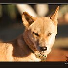 Dingo at Cental Australia by rivid