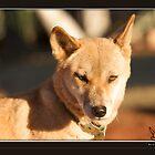 Dingo at Cental Australia by rivid