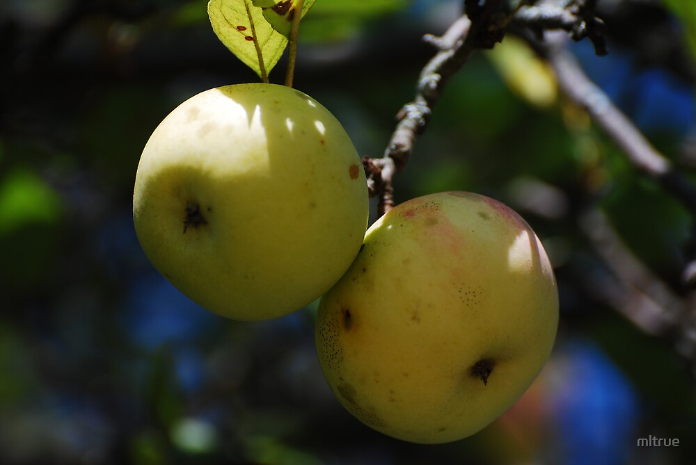 Apples by mltrue