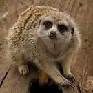 Meerkat, Melbourne Zoo by SusanAdey