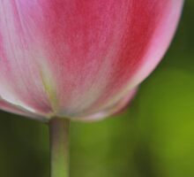 Tulips of old Amsterdam by miradorpictures