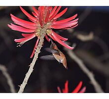 Coral Tree Nectar Photographic Print