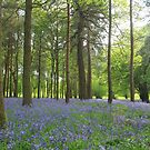 A dense spread of bluebells by miradorpictures