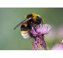 Cuckoo Bee Photographic Print