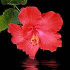 Hibiscus Reflection by Elaine Teague