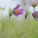 The beautiful pasque flower by miradorpictures