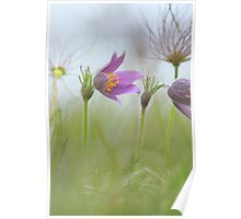 The beautiful pasque flower Poster