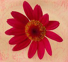 Vibrant Pink Gerbera Daisy  by Sandra Foster
