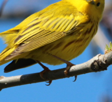 You Looking at Me? /Yellow Warbler Sticker