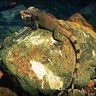 Iguana be back in St.Thomas by SLRphotography