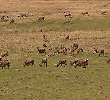 Red Deer Herd at Loch Muick by Darrenadie