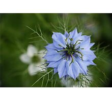 Cornflower blue Photographic Print