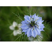 Cornflower blue Photographic Print