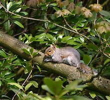 Squirrel on a Branch by Mike HobsoN
