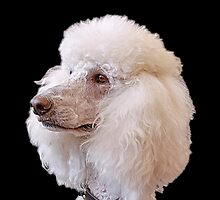 Portrait of a Poodle by Tainia Finlay