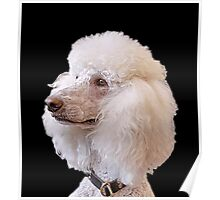 Portrait of a Poodle Poster