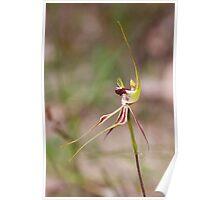 Mantis Orchid - Arachnorchis tentaculata Poster