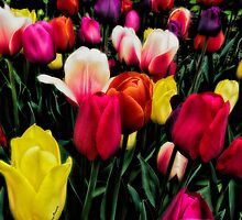Tulip Color Blast by KatMagic Photography