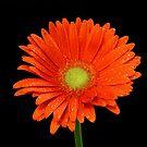 Orange Gerbera by Keith G. Hawley