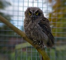 Little Owl by Trevor Kersley