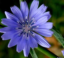 Chicory Flower by mercale