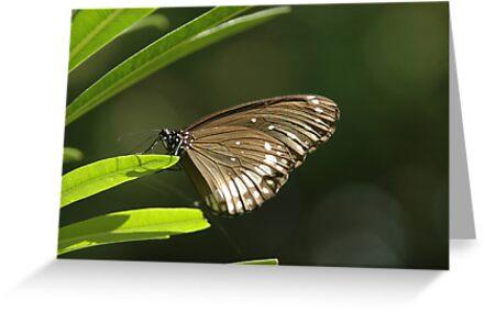 butterfly by AravindTeki