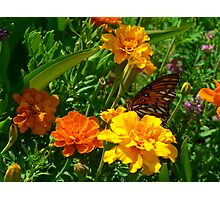 """""""Butterfly and the Marigolds"""" Photographic Print"""