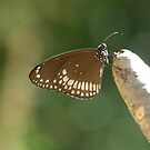 butterfly by AravindTeki