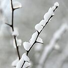 Snowy thorns by Jon Tait
