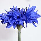 cornflower blue II by Floralynne