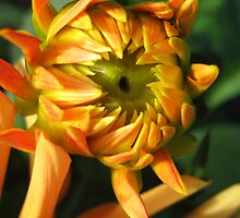 Budding Dahlia No.2 by Orla Cahill Photography