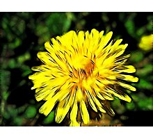 Nothing like the good ole Dandilion!   Photographic Print