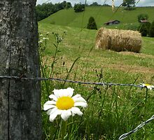 Fence A Daisy by Nokie