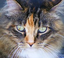 Maine Coon in a stare by Thomas Stevens