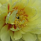 Yellow Peonie by PicsbyJody